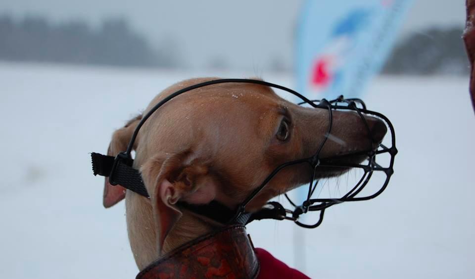 Racing Muzzle For Italian Greyhounds